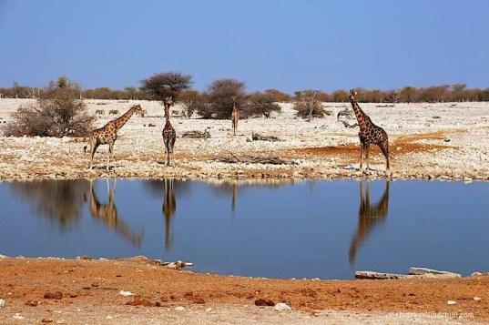 giraffe namibia etosha okaukuejo| visit Namibia | things to do in Namibia