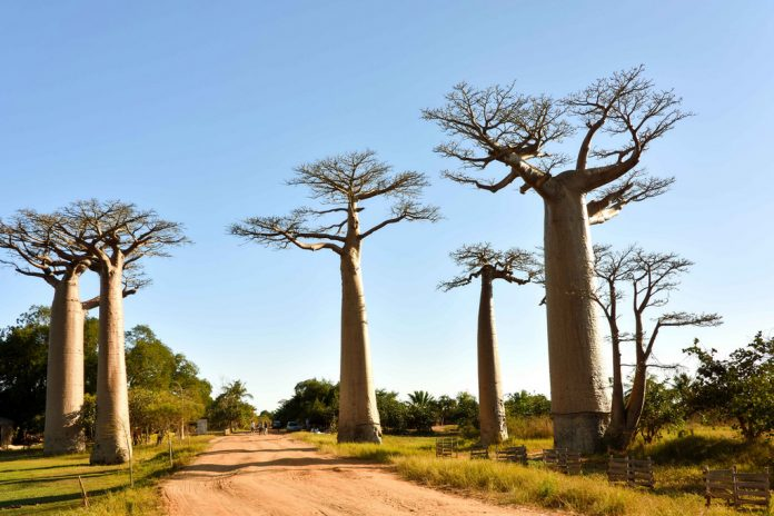 7 of the most breathtaking forests in the world Avenue of Baobabs Madagascar 696x464