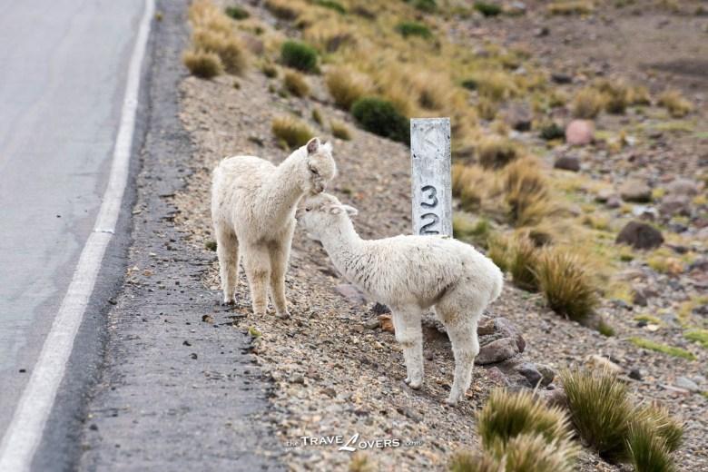 最典型的羊駝品種-Huacaya,這兩隻特別嬌小,應該是小朋友。