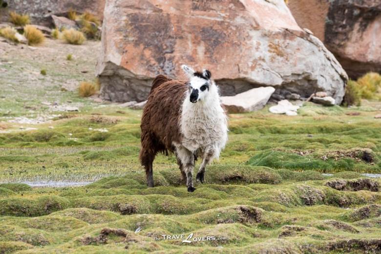 這一隻長毛怪,臉的輪廓像駱馬,身形像羊駝,但脖子又很短,是什麼品種?
