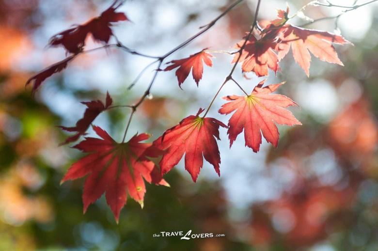 剛染紅的楓葉。