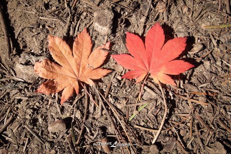 落在地上的紅葉。