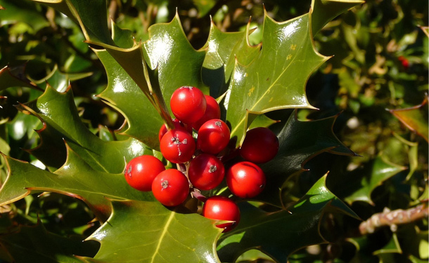Evergreen shrubs for shade American holly zone 8