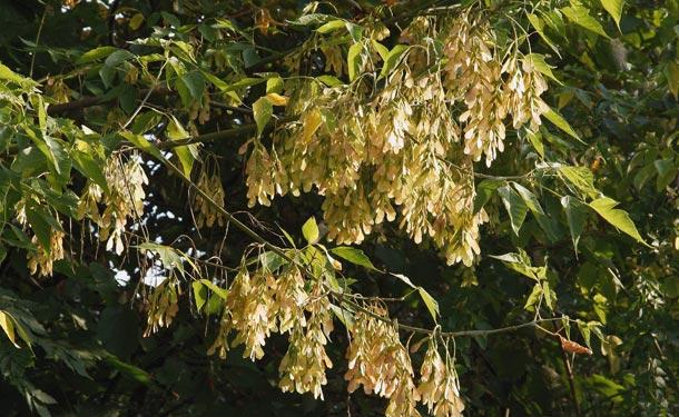 Acer negundo boxelder tree blooming