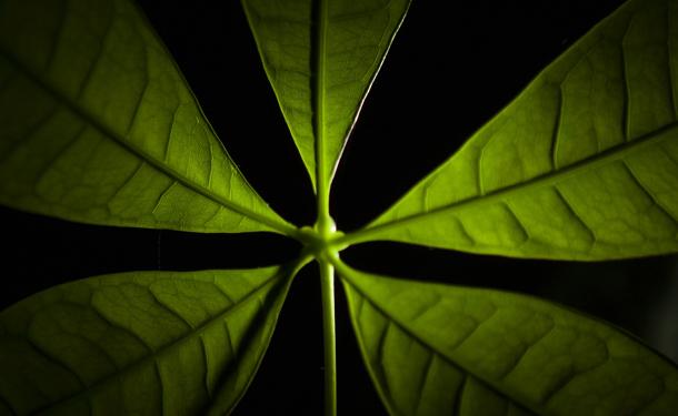 Money tree indoor evergreen care
