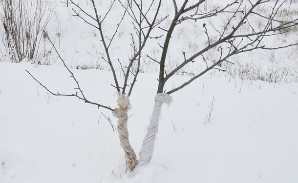 Wrapped deciduous fruit tree trunks in winter