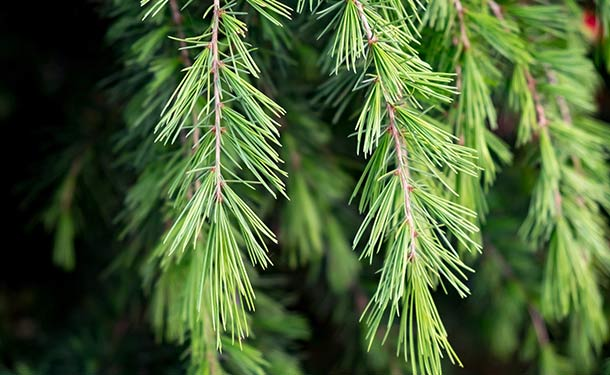 Evergreens for usda hardiness zone 9 cedar trees