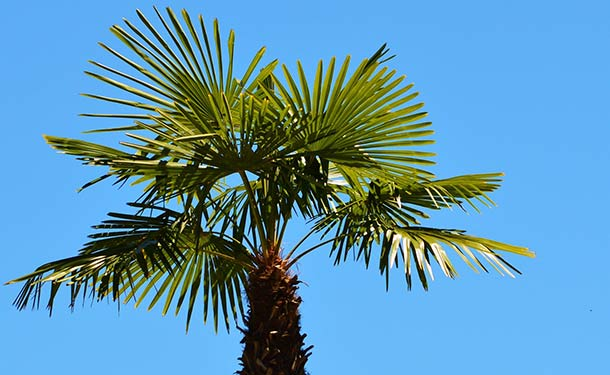 Evergreens for usda hardiness zone 9 mexican fan palm trees