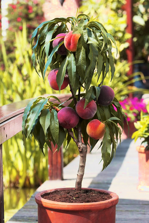 bonanaza patio peach trees for sale