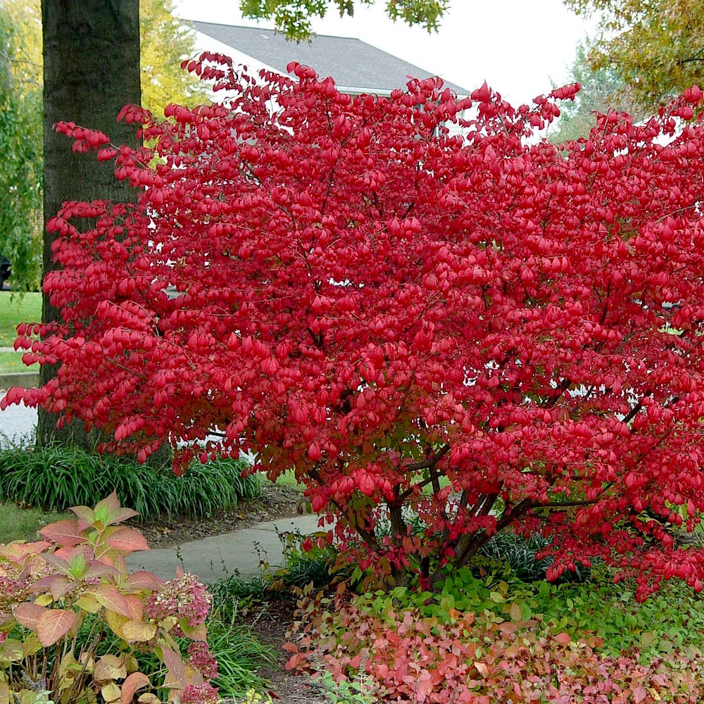 Shrubs And Hedges For Sale Buy Shrubs Online The Tree Center