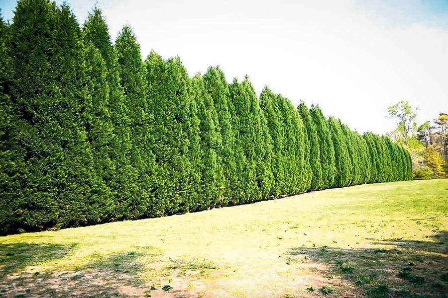 Leyland Cypress Trees For Sale Buy Leyland Cypress