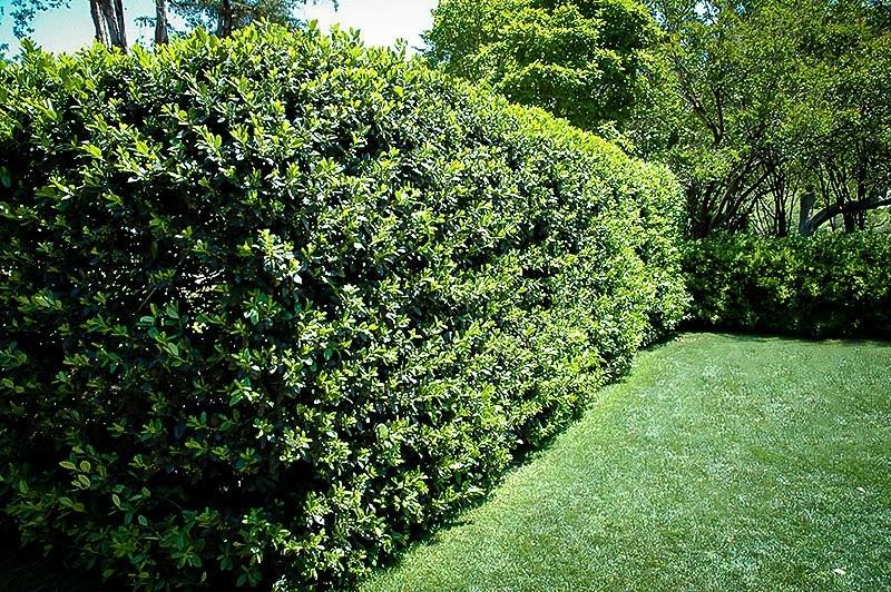 Buy Nellie Stevens Holly Online The Tree Center