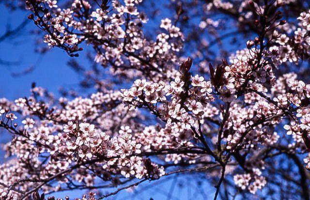 Newport Flowering Plum The Tree Center