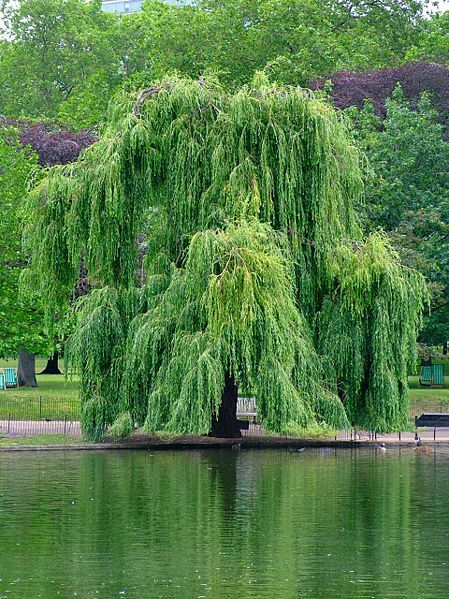 Weeping Willow River Bank