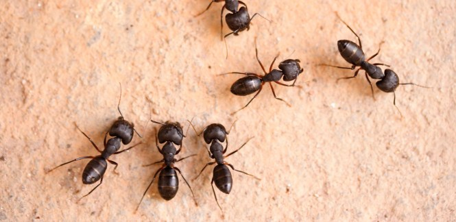 Carpenter Ant Reproductive Ants