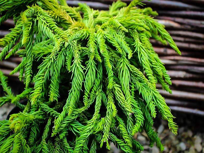 Spiral Japanese Cedar For Sale Online The Tree Center