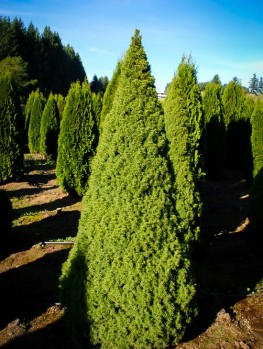 Buy Spruce Trees Online Spruce Trees For Sale The Tree