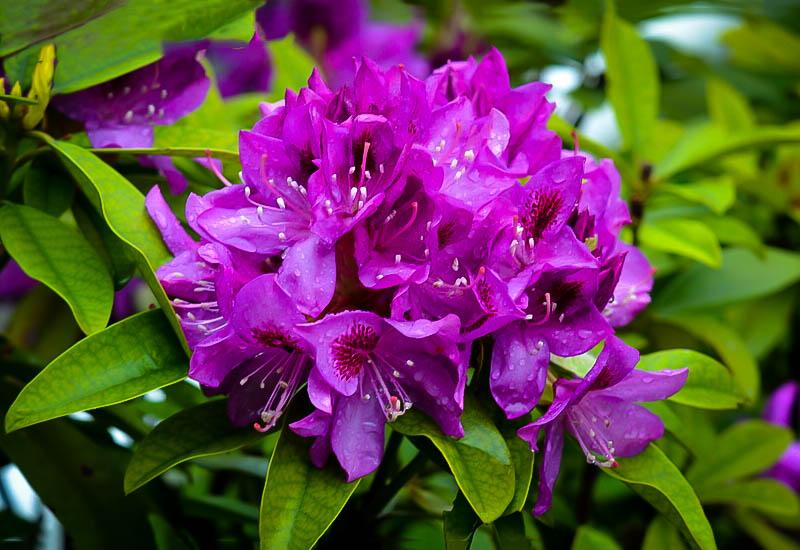 Purple Rhododendron Edith Bosley The Tree Center