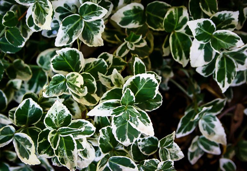 Emerald Gaiety Wintercreeper Plants For Sale The Tree