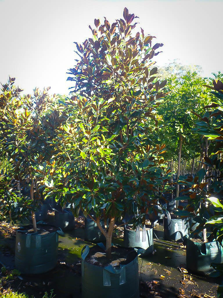 Kay Parris Magnolia Trees For Sale Online The Tree Center