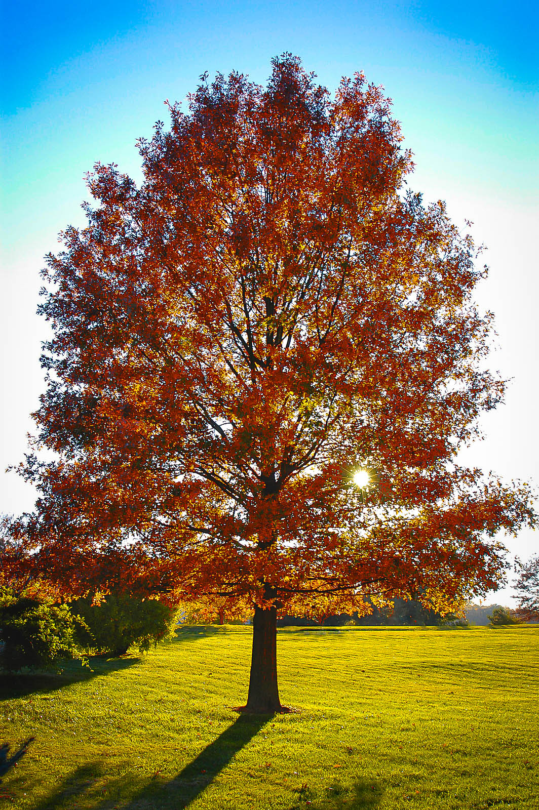 Pin Oak For Sale Online