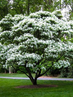 Buy Flowering Trees Online   The Tree Center       Other Flowering Trees