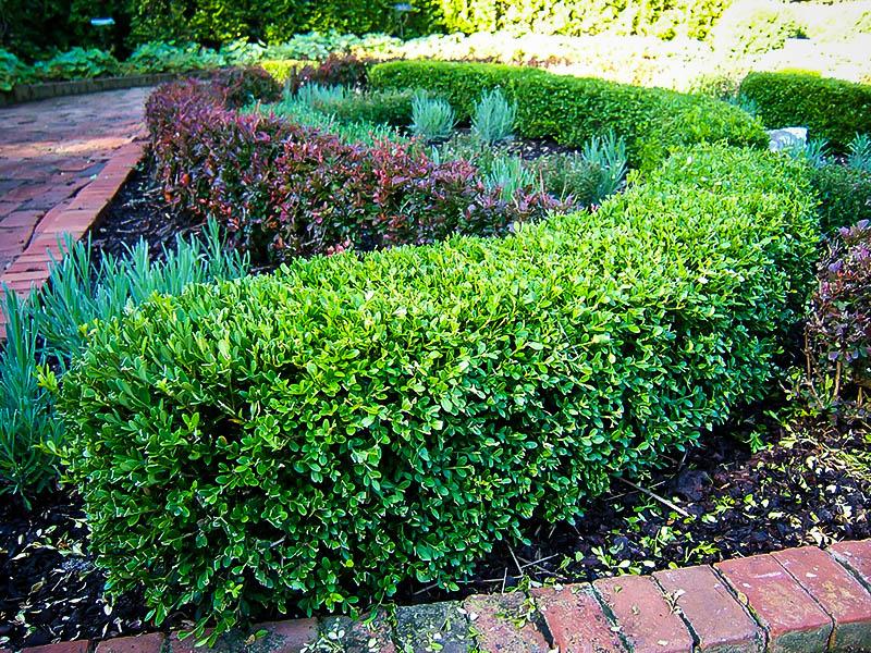 Japanese Boxwood Hedge