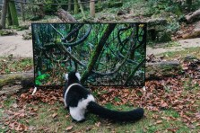 EMBARGOED until 00:01 07/12/15 GMT Conservation charity, The Aspinall Foundation, installed a Sony BRAVIA 4K TV in its lemur enclosure at Port Lympne Reserve in Kent, UK, as part of its world famous 'Back to the Wild' project, to give the animals a life-like and detailed look at the areas in the wild that could become their new homes. The charity will trial TV watching on Sony's 4K TVs as part of this programme in a bid to make lemurs more familiar with the new environment. This picture: Black and White Ruffed Lemurs are shown imagery of their future home in Madagascar on a Sony BRAVIA 4K TV For more information or a full release please call the Sony press office on 020 7566 9747 or email: Rochelle Collison@hopeandglorypr.com // Phoebe.Mellor@hopeandglorypr.com PR Handout - editorial usage only Copyright: © Mikael Buck / Sony +44 (0) 782 820 1042 http://www.mikaelbuck.com