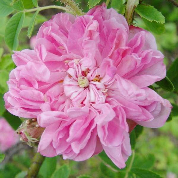 rosa-damascena-25