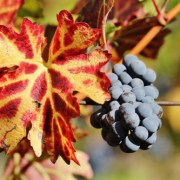 Soiurile locale de struguri, readuse în atenția consumatorilor de către viticultori