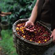 5 procese care transformă semințele de cafea în băutura aromată pe care o iubim
