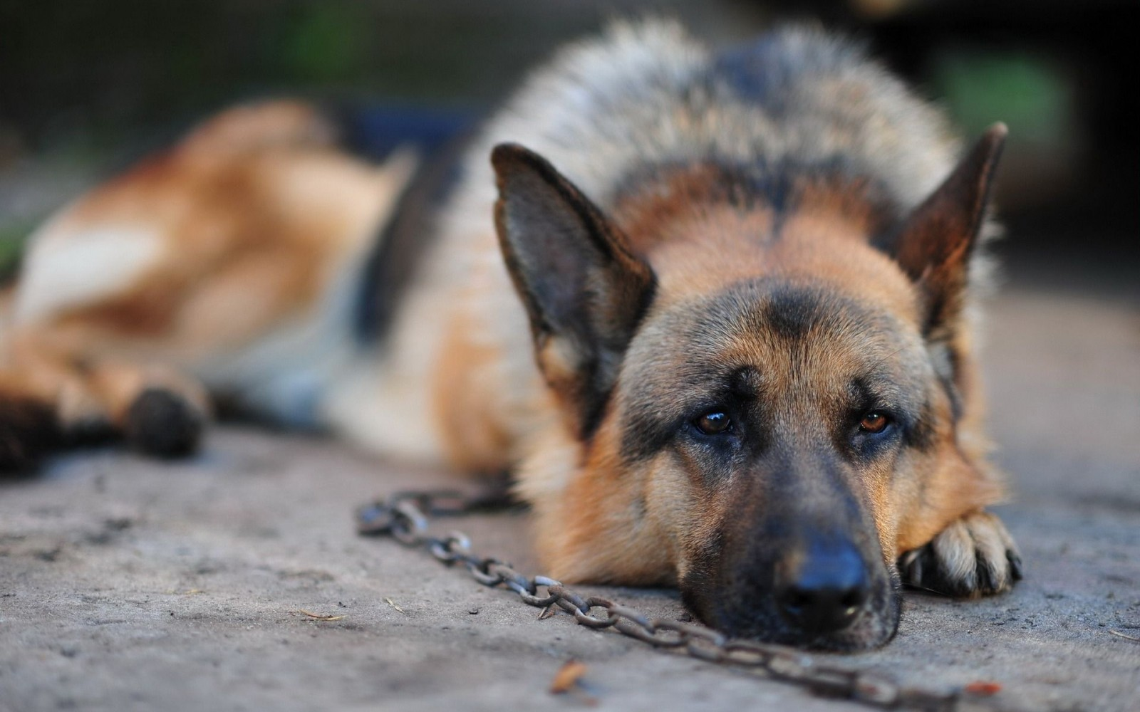 Xxx alle Oralsex mit Deutschem Schäferhund