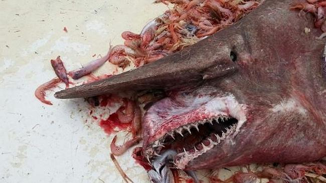 Goblin ... A Florida shrimper accidentally caught an incredibly rare goblin shark off the coast of Key West, Florida, on April 19. (Photo Credit: Carl Moore/NOAA Source: Supplied)