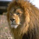 lion penis