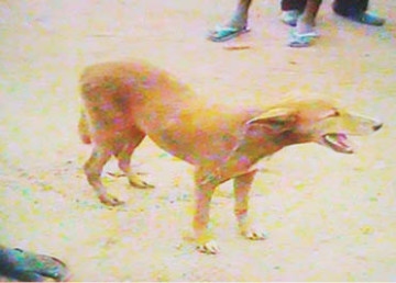 Dog used for sex by a boy in Edo state (Photo Credits: Punch News)