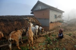 In a picture taken on February 9, 2012, Chandra Bahadur Dangi, a 72-year-old Nepali who claims to be the world's shortest man at 56 centimetres (22 inches) in height, looks at goats at his home village in Reemkholi village, Dang district, some 540 kilometres southwest of Kathmandu. Pilloried by neighbours, laughed at in freakshows and spurned by the women he admired from afar, Chandra Bahadur Dangi has always seen his tiny stature as a curse. But the 72-year-old Nepali, who claims to stand at just 56 centimetres (22 inches), is on the brink of life change as significant as a lottery win as experts prepare to test his claim to be the shortest man in history. (Photo Credit: Prakash MAthemaprakash Mathema/AFP/Getty Images)