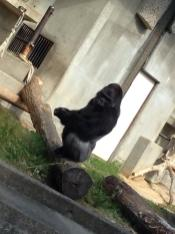 Shabani is a male gorilla who lives at Higashiyama Zoo and Botanical Gardens since 2007 but just recently got his way through the hearts of a handful of women. (Photo Credit: Twitter/ Hapyuka)