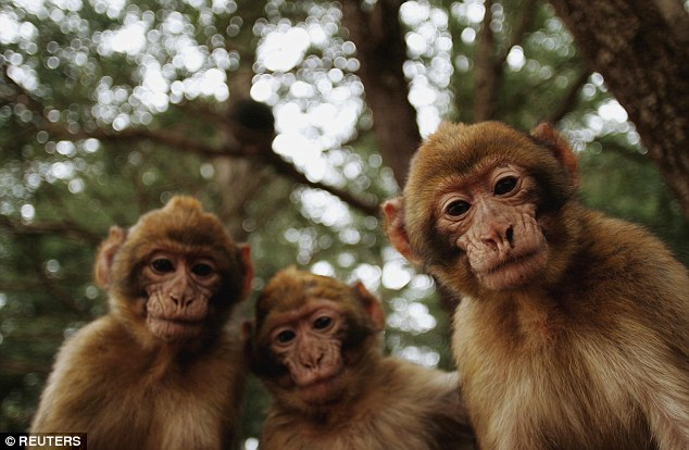 Melissa Hart, 23, a baker from Macclesfield, said she was sexually assaulted by two Barbary macaque monkeys (pictured) in Gibraltar after going to see them dressed in a bikini. (Photo Credit: Mail Online)