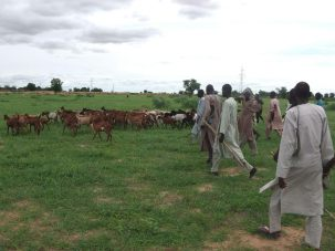 Troops of 7 Division Garrison recovered 15 cows, 174 goats and a donkey from rustlers in Jakana village, Borno State. (Photo Credit: PR Nigeria)