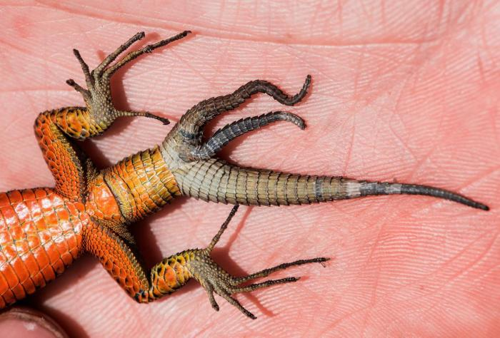 The blue-throated keeled lizard's three tails likely grew after its original tail was completely lost. | Daniel Jablonski