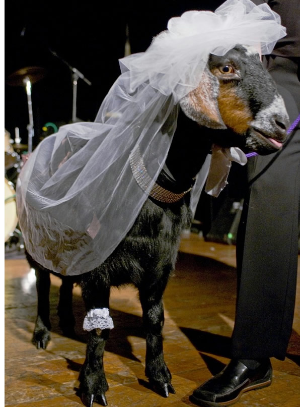 A man Charles Tombe was forced to marry a goat (not this one) named Rose after he was caught raping it in South Sudan.