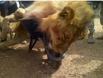 The Lion after it was killed ! Vanguard