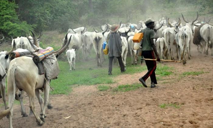 Taraba grazing Fulani herdsmen with their cattle cow