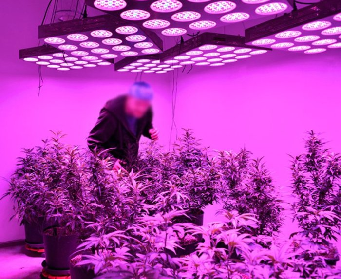 cannabis marijuana led grow