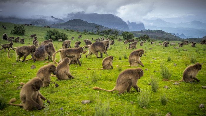 Ethiopia's highest mountain range, the Simiens, nurture an incredible array of native flora and fauna including animals like the gelada baboon, Ethiopian wolf and walia ibex. Scheduled to open in early 2017, a new luxury tented camp will complement basic facilities already available in the national park. courtesy Ethiopia Tourism Organization