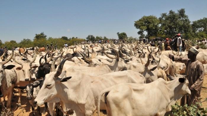 Nomadic Fulani herdsmen and a herd of cattle