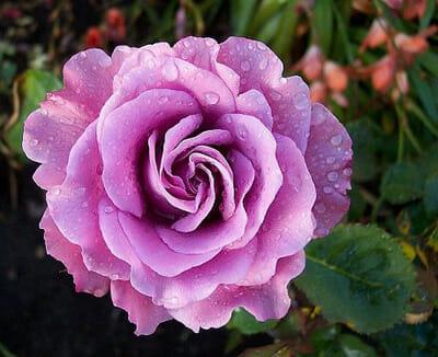 Angel Face Rose 3ft Standard Hello Hello Plants Amp Garden