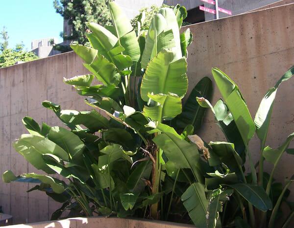 Large Leaf Perennials
