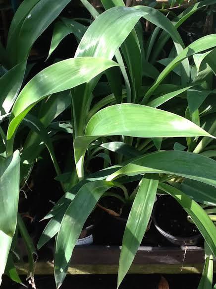 New Zealand Rock Lily Hello Hello Plants Amp Garden Supplies