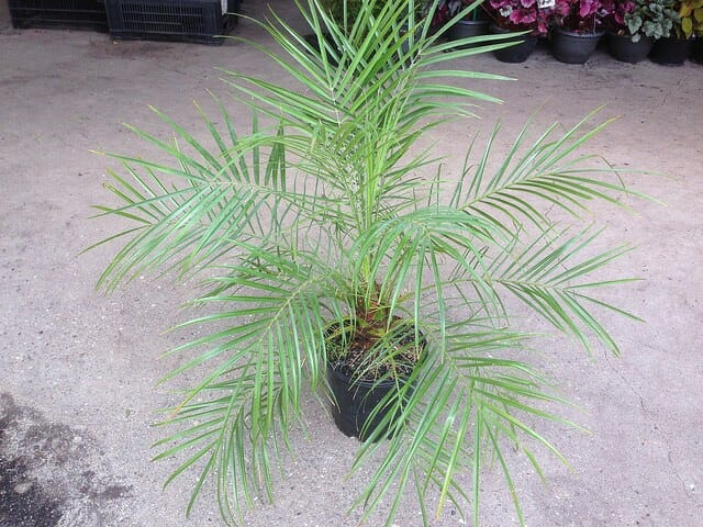 Dwarf Date Palm 8 Quot Pot Hello Hello Plants Amp Garden Supplies